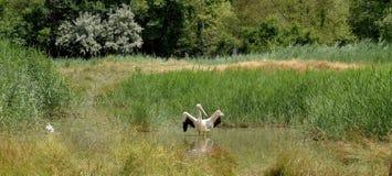 Conica di ciconia del blanche di Cigogne Immagini Stock