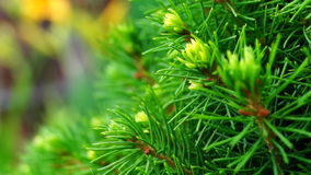 Conica glauca Picea видеоматериал