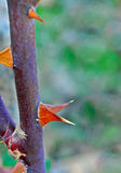 Conical rose flower thorn Royalty Free Stock Photos