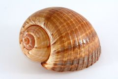 Conical Sea Shell Stock Photo