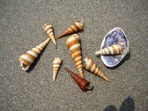 Conical Seashells royalty free stock image