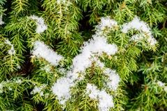 Conifère avec le macro de neige photos stock