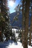 Conifère hivernal forrest avec le soleil Photo libre de droits
