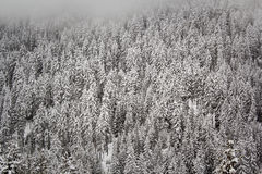 Conifères chargés par neige Photographie stock