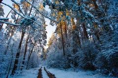 Conifères de forêt d'hiver hauts couverts de neige Voies en bois image stock