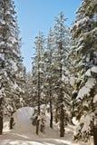 Conifères de Tahoe Photo libre de droits