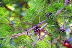 Conifères et cône de pin photographie stock libre de droits