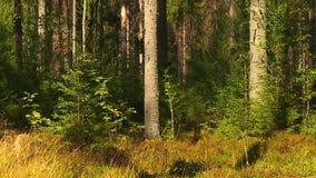 Conifére et arbres à feuilles caduques banque de vidéos