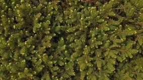 Conifer świeża zieleń Obrazy Royalty Free
