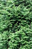 conifer предпосылки стоковые изображения rf