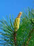 Conifer Royalty Free Stock Image
