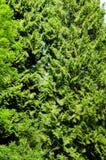 conifer стоковое изображение