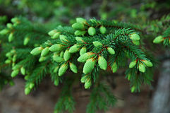 Conifer Stock Photos