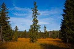 conifer Стоковое Фото