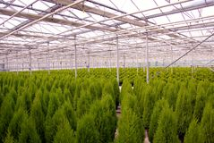 Conifer. Ous trees in a greenhouse at a nursery Royalty Free Stock Image