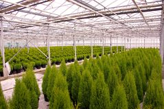 Conifer. Ous trees in a greenhouse at a nursery Royalty Free Stock Photography