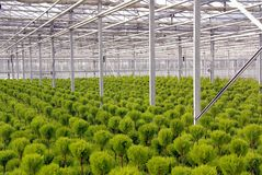 Conifer. Trimmed coniferous trees in a greenhouse at a nursery Stock Image