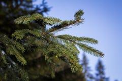 conifer Стоковые Изображения