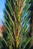 conifer стоковые фотографии rf