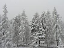 conifer Imagens de Stock