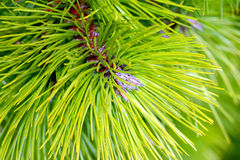 Conifer. Needles of a firtree Royalty Free Stock Images