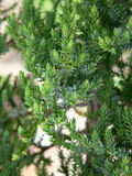 Conifer. A branch of a conifer shrub Royalty Free Stock Photos