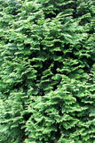 Conifer background Royalty Free Stock Images