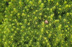 Conifer background with shell. Green and fresh background of conifer Royalty Free Stock Photography