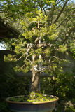 Conifer bonsai tree Stock Photography