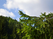 Conifer branch with a background summer sky almost clear with some clouds. A small branch of a conifer Royalty Free Stock Image