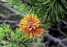 Conifer branch with beautiful colors. Close up detail conifer green and yellow branch stock photos