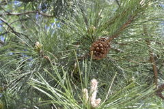 Conifer branch with brown lump Royalty Free Stock Photo