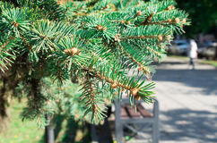 Conifer branch at the city street. Conifer branch with a small field of focus on the background of a city street. Selective focus stock images