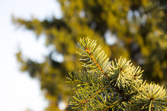 Conifer branch Royalty Free Stock Image