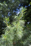 Conifer branch Royalty Free Stock Images