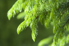 Conifer Royalty Free Stock Photo