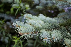 Conifer branch. Detail of silver spruce twigs royalty free stock image