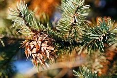 Conifer branch. With fir cone in nature, note shallow depth of field stock photo