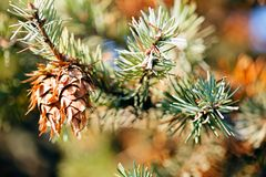 Conifer branch. With fir cone in nature, note shallow depth of field royalty free stock photo