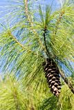 Conifer branch. With fir cone in nature, note shallow depth of field stock photography