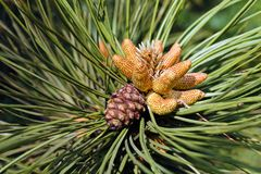 Conifer branch. With fir cone in nature, note shallow depth of field stock images