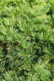 Conifer branch (fir, pine) background. Green Conifer branch (fir, pine) background stock photography