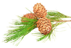Conifer branch with pine cones Stock Image
