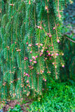 Conifer branch in spring. Spring detail of conifer branch stock photos