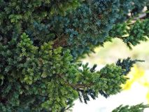 Conifer branch. Thin needles needles densely cover the branches royalty free stock photography