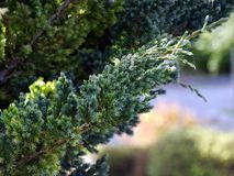 Conifer branch. Thin needles needles densely cover the branches royalty free stock image