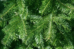 Conifer branches. Background of young conifer branches Stock Images