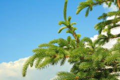 Conifer branches Royalty Free Stock Photos