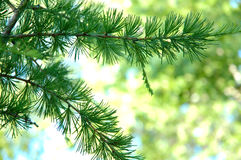 Conifer branchlets. Conifer branchlets (Spruce). Brightly green needles - summer nature background Royalty Free Stock Image