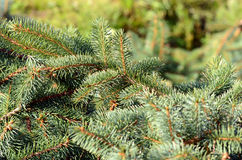 Conifer branchlets Royalty Free Stock Photography